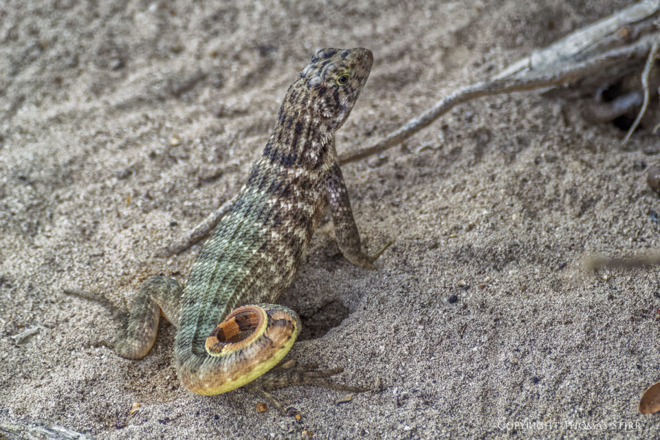 curly tail image 7