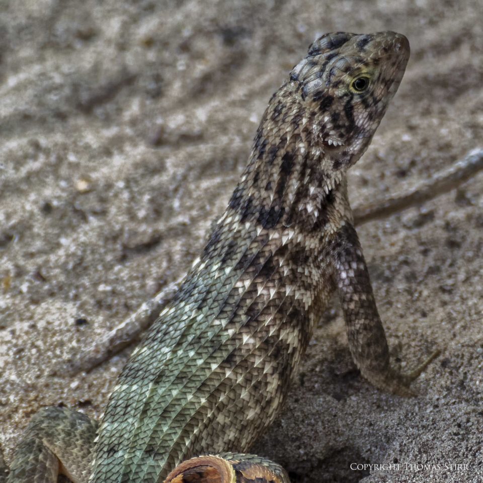curly tail image 8