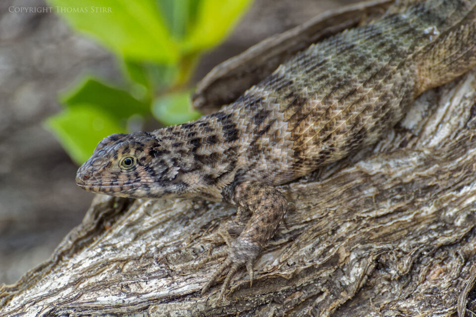 curly tail image 9