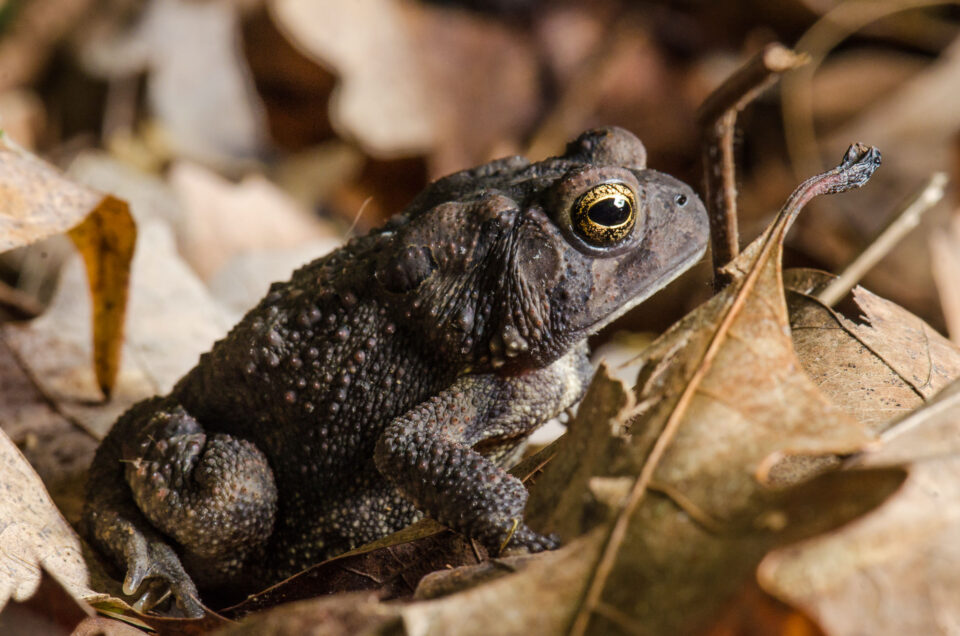 Brown Toad and Leaf