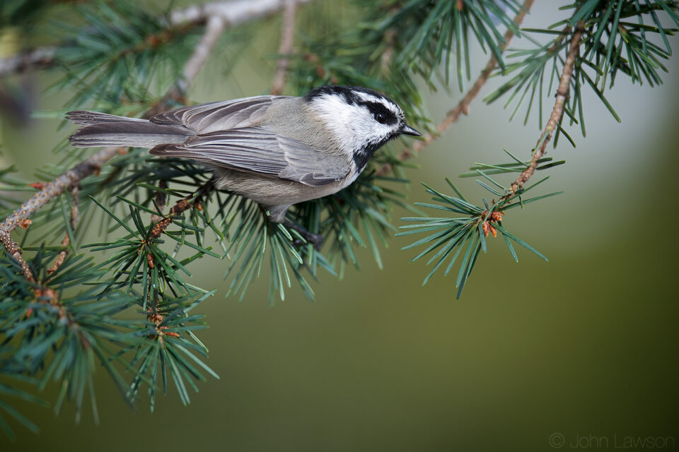 Mountain Chickadee 400mm f2.8E FL @ f2.8