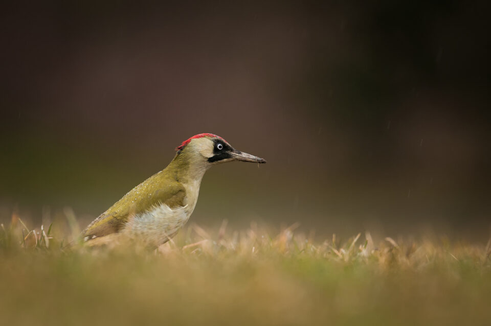 Dusan-Vainer_European-green-woodpecker1