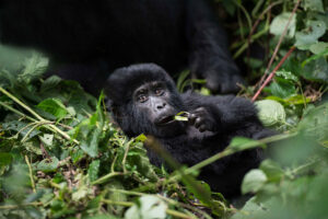 Gorilla Photography Tips