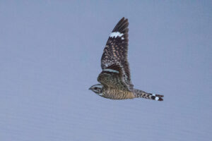 Verm-Lesser-Nighthawk-Dripping-Springs-9033