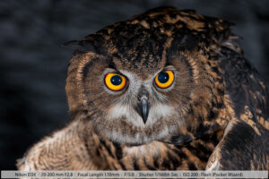Eurasian Eagle Owl at Night