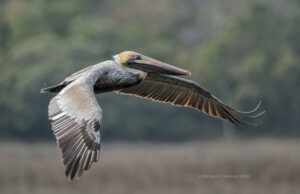 Photographing Brown Pelicans with Tamron 150-600mm VC