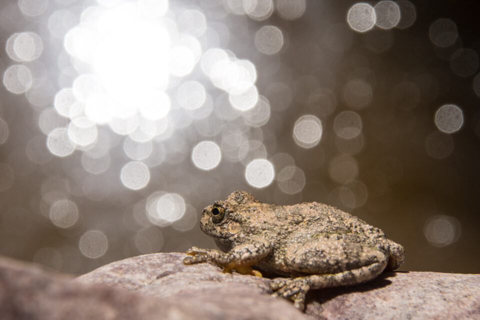 Verm-Canyon-Tree-Frog-D7200-0781-2