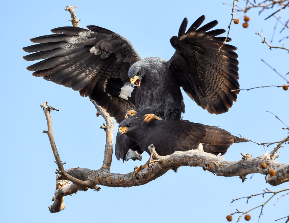 Verm-mating-Black-hawks-Page-Springs-4311