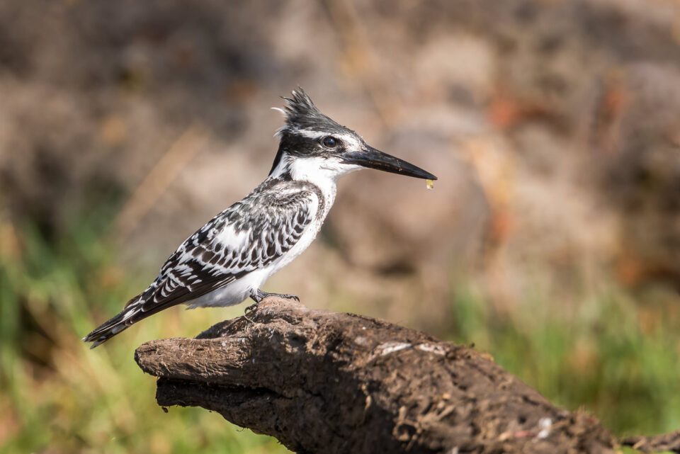 CH Pied Kingfisher