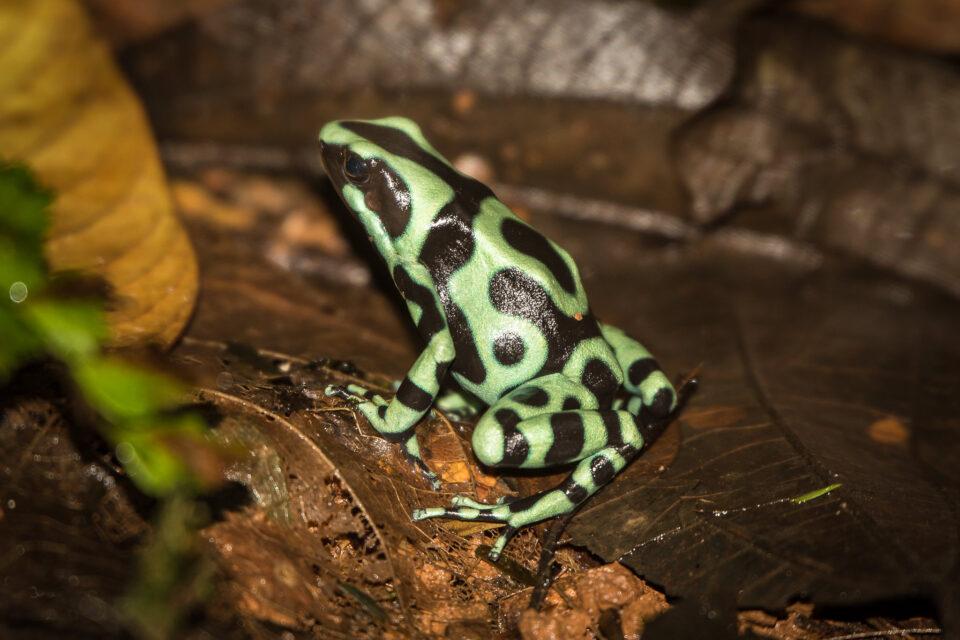 Green-and-black-poison-dart-frog