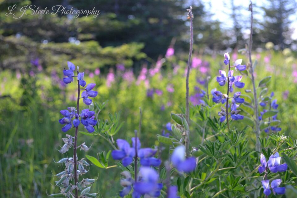 Fireweed and Lupine dot the countryside along with a multitude of other wild flowers.