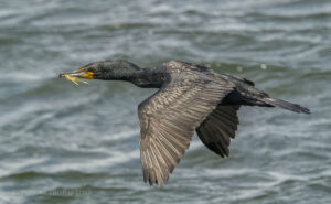 Photographing Cormorants in Flight with Nikon 1
