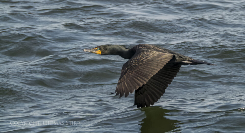 cormorants in flight 9