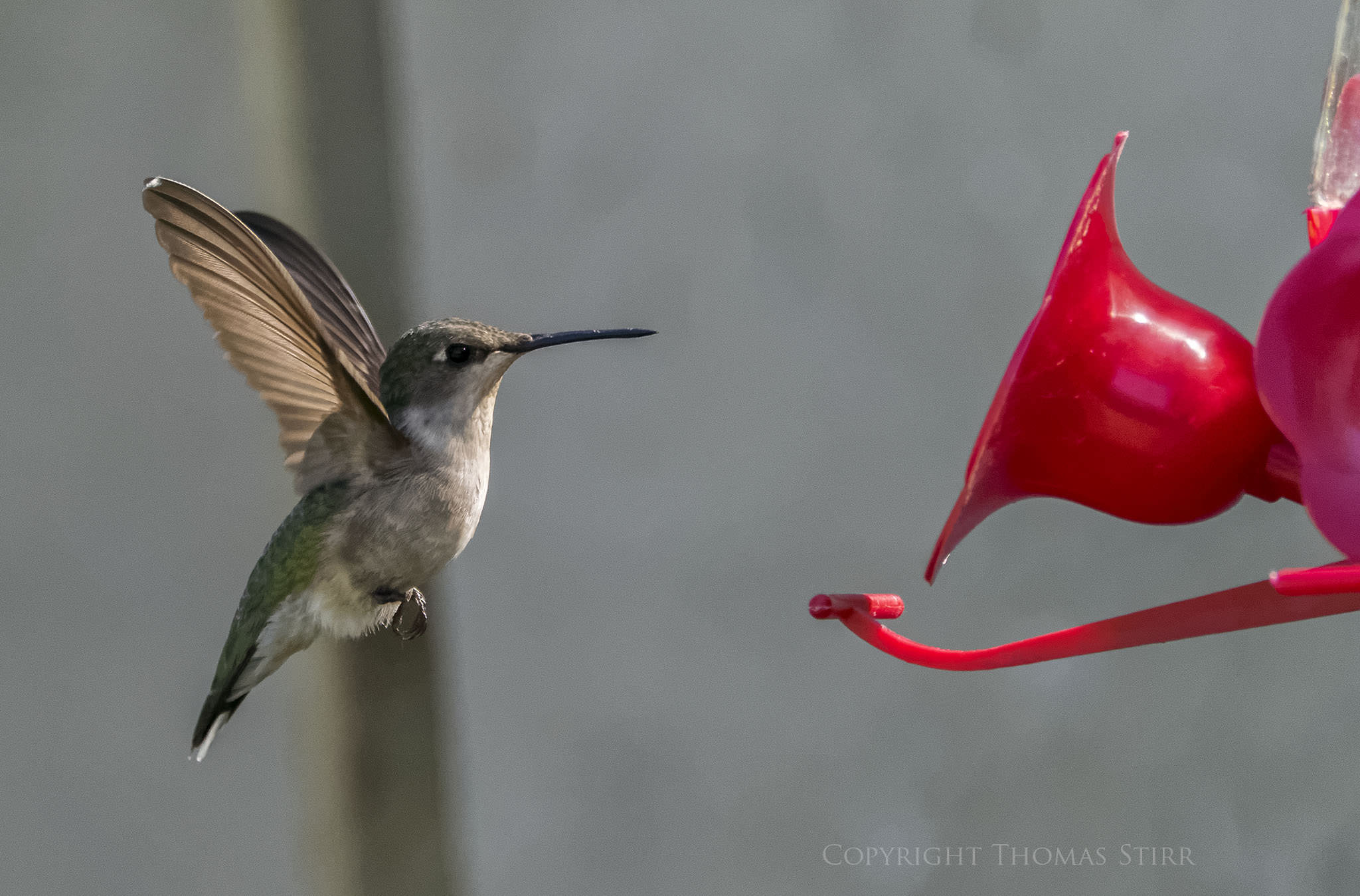 Photographing Hummingbirds In Flight Without Using Flash - Syncing a videos frame rate with a birds wings does something amazing