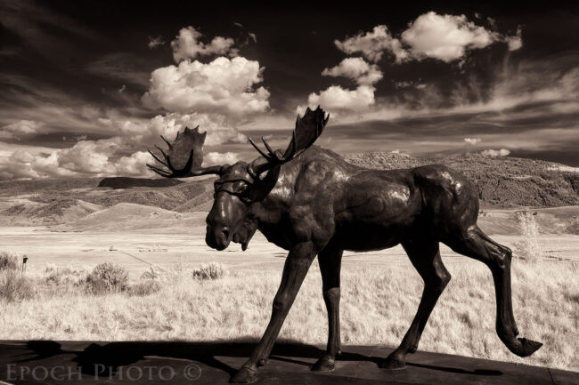 Infrared Moose, Jackson, WY