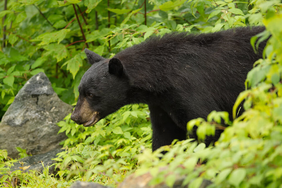 Black Bear In Woods