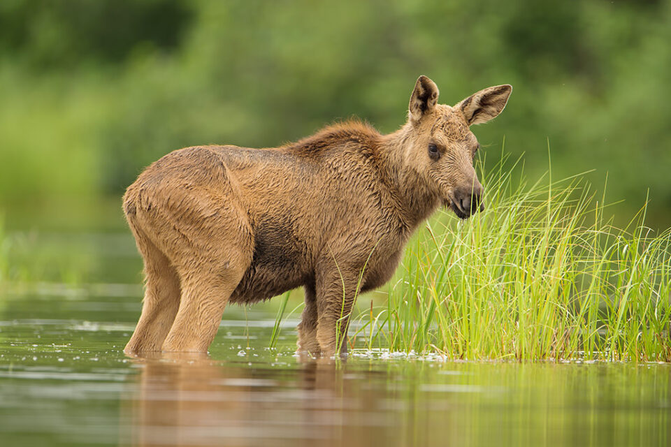 Calf Moose in Lake