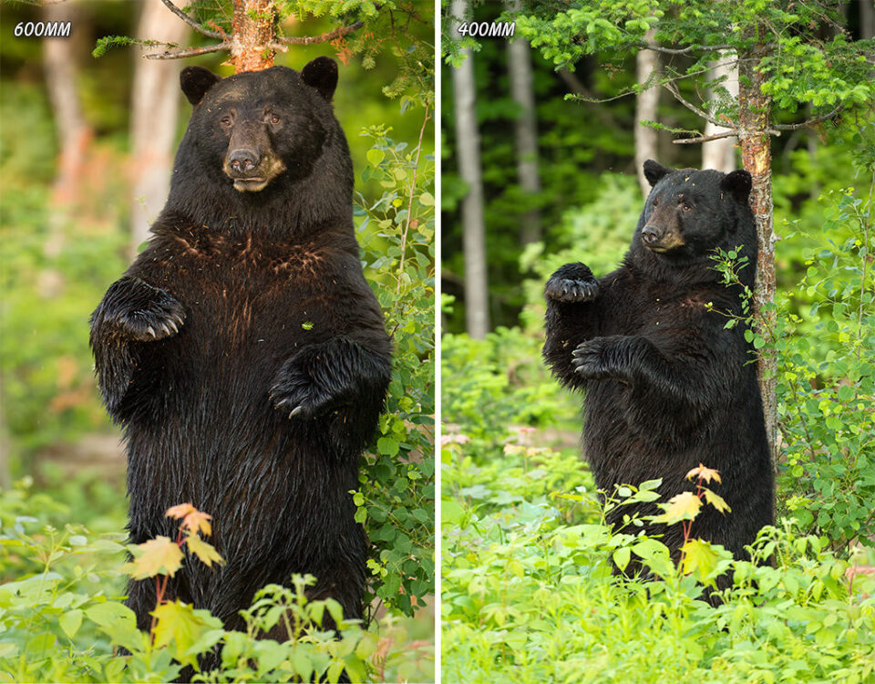 Larger Male Black Bear Standing Against tree