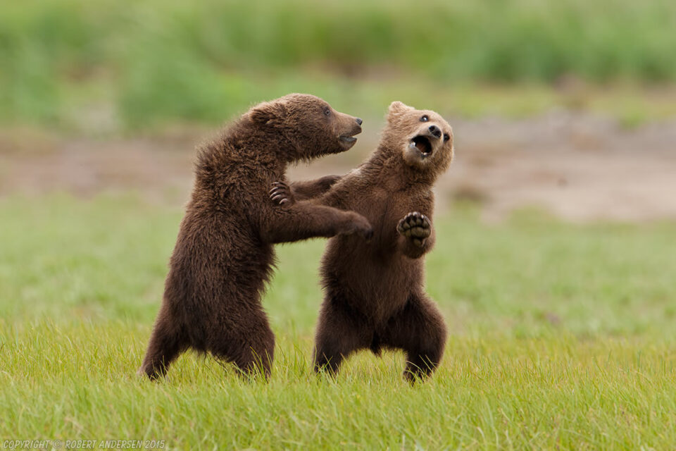 Grizzly Cubs (Brown bear) Katmai National Park