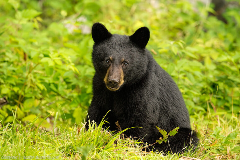 Six Month Old Black Bear Cub Middle of August