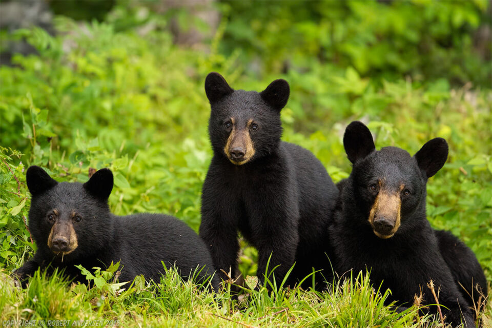 Black Bear with Her Two 6mth Old Cubs