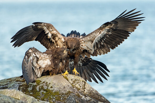 Immature Bald Eagles fighting
