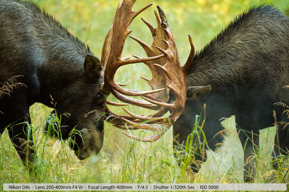 Big Bull Moose Fight Anchorage Alaska