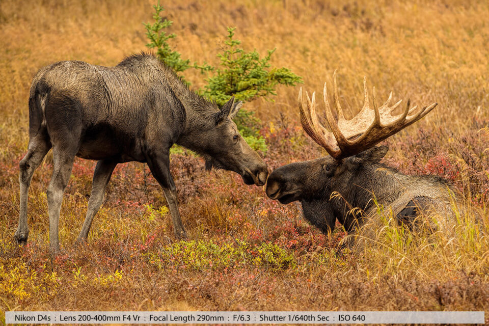 Cow Moose Kissing the Bull Bedded Down