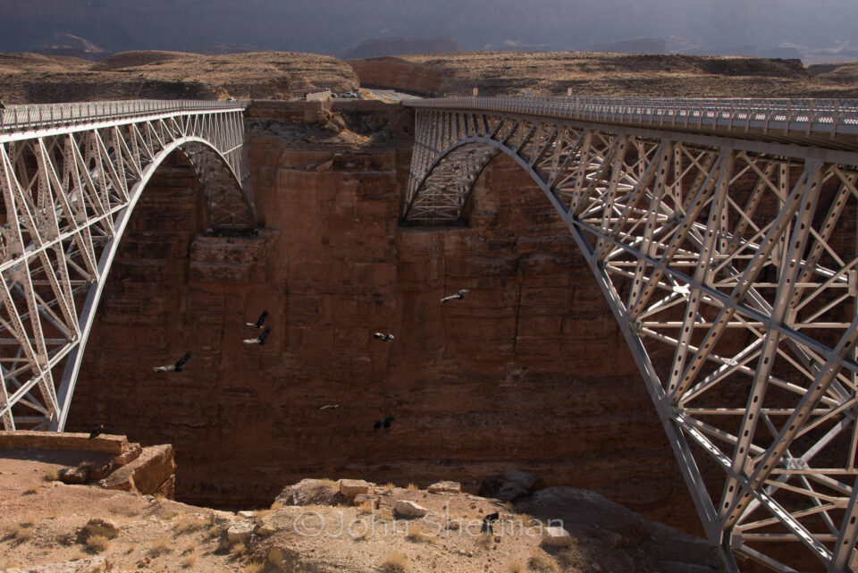 Verm-California-Condor-Navajo-Bridge-2108