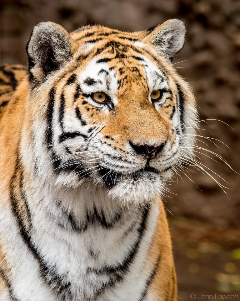 Amur Tiger (C) 400mm f_8 1_250s ISO1600