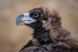 Cinereous Vulture (C) 600mm f_6.3 1_200s ISO1600