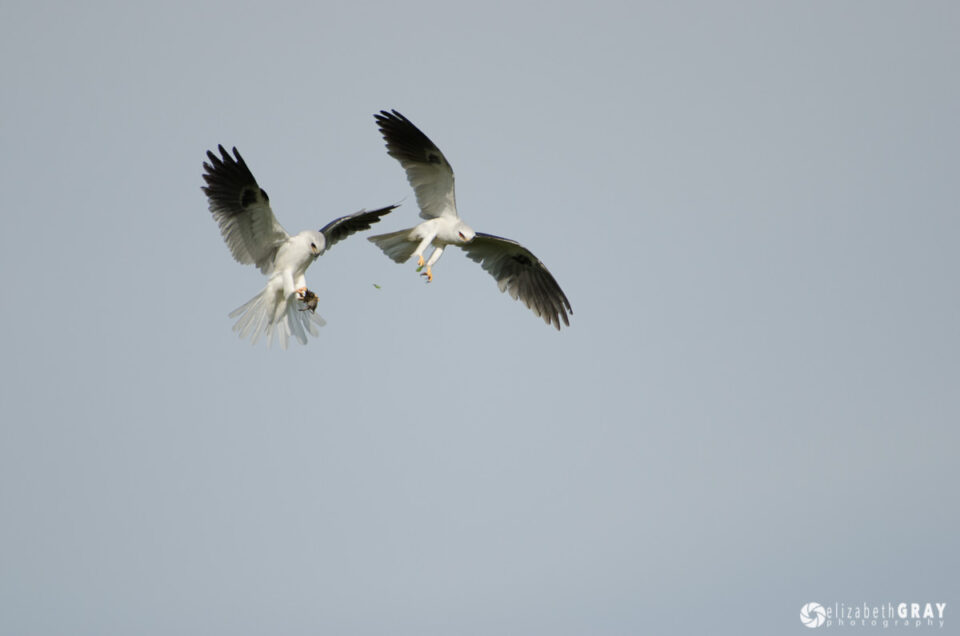 White-Tailed Kite Courtship