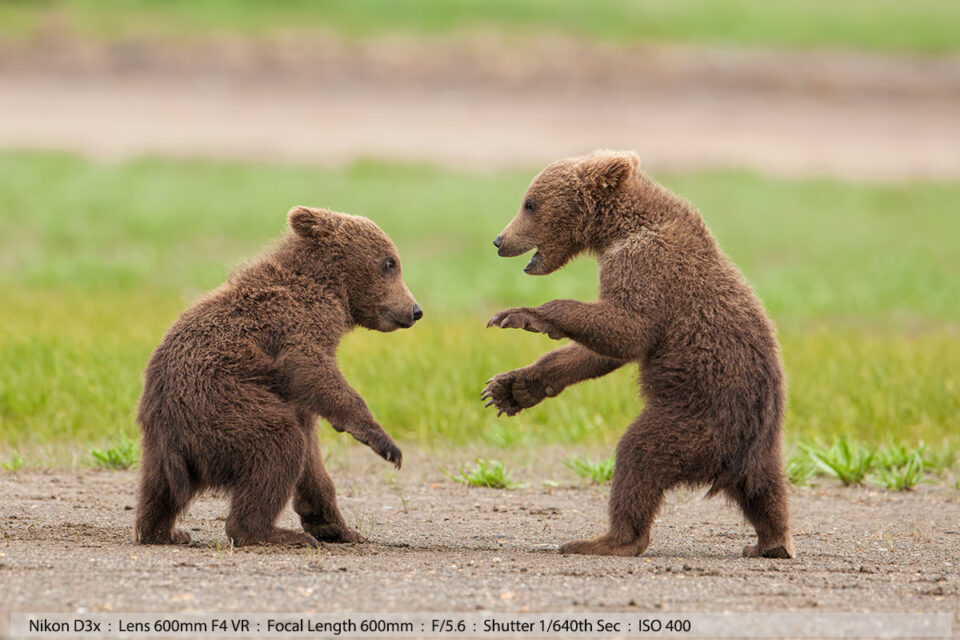 Grizzly Cubs Play Fighting Katmai National Park