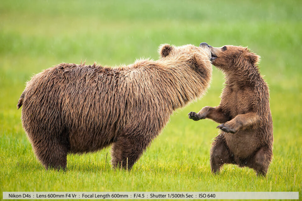Grizzly Cub Kissing Mum on the lips Katmai National Park