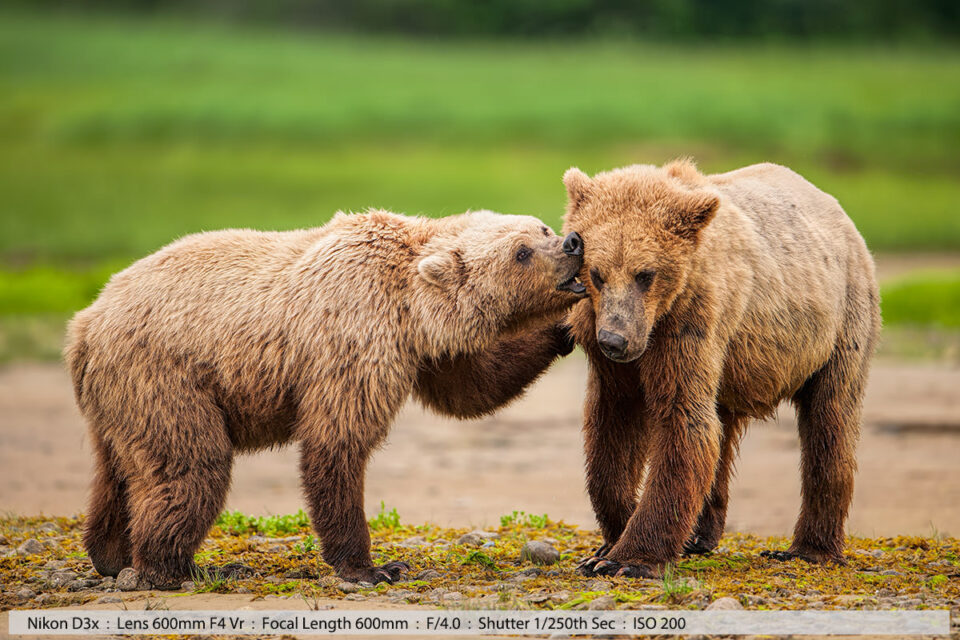 Two Grizzly Bears Play Fighting Katmai National Park