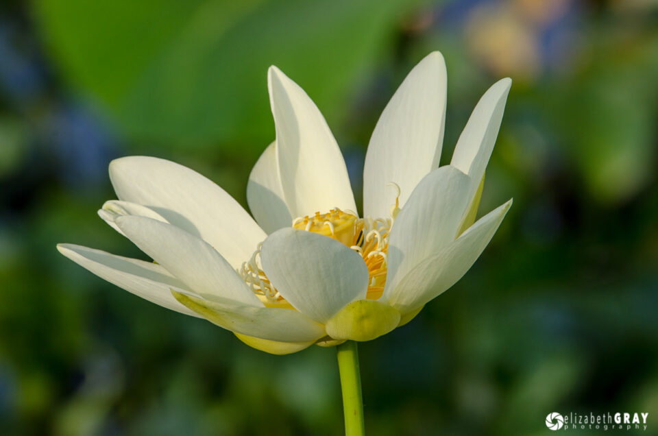 Busy Background Lotus