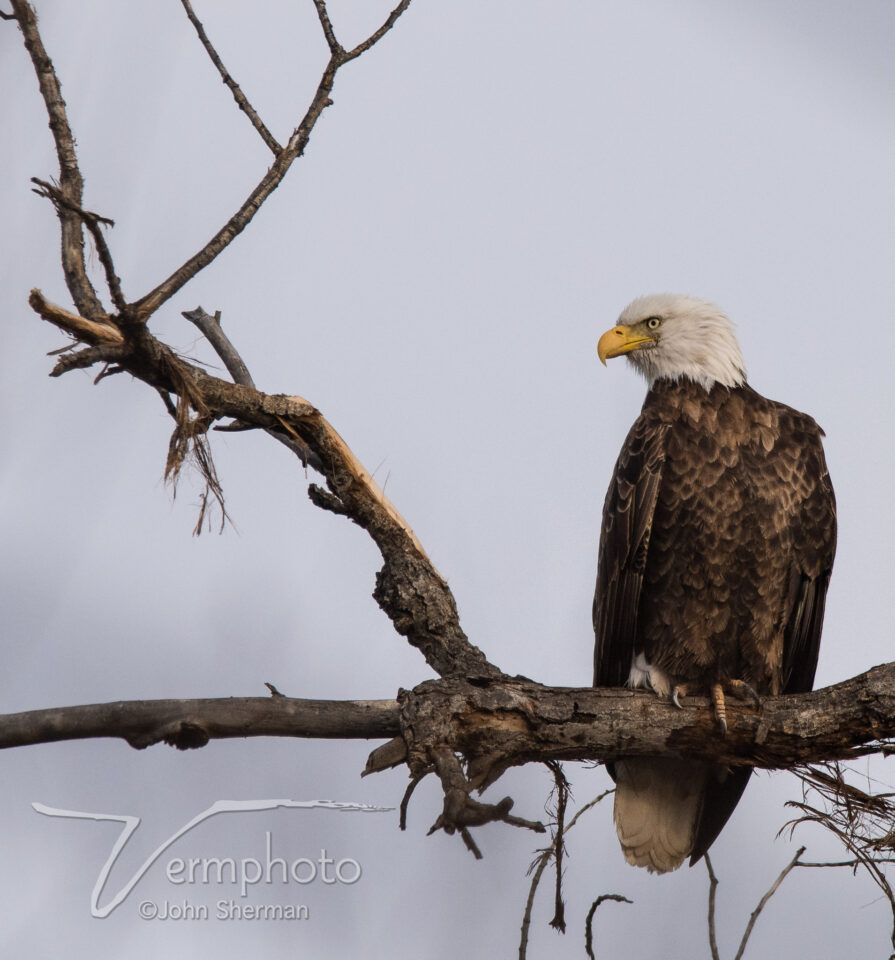 Verm-Bald-Eagle-Gilbert-1053