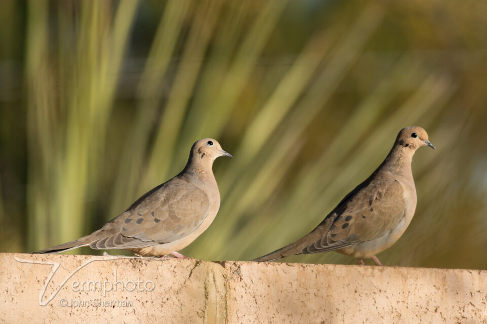 Verm-Mourning-Doves-telezoom-728106
