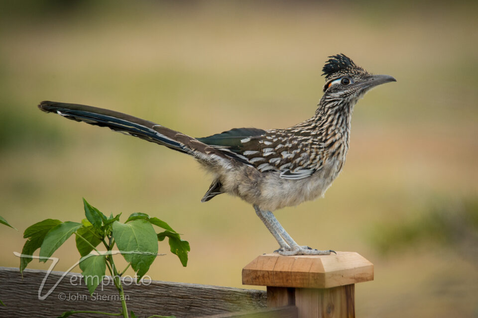 Verm-Roadrunner-backyard-6165