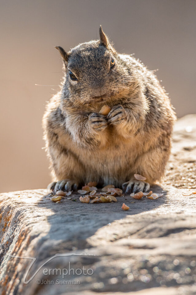 Rock Squirrel, Grand Canyon NP