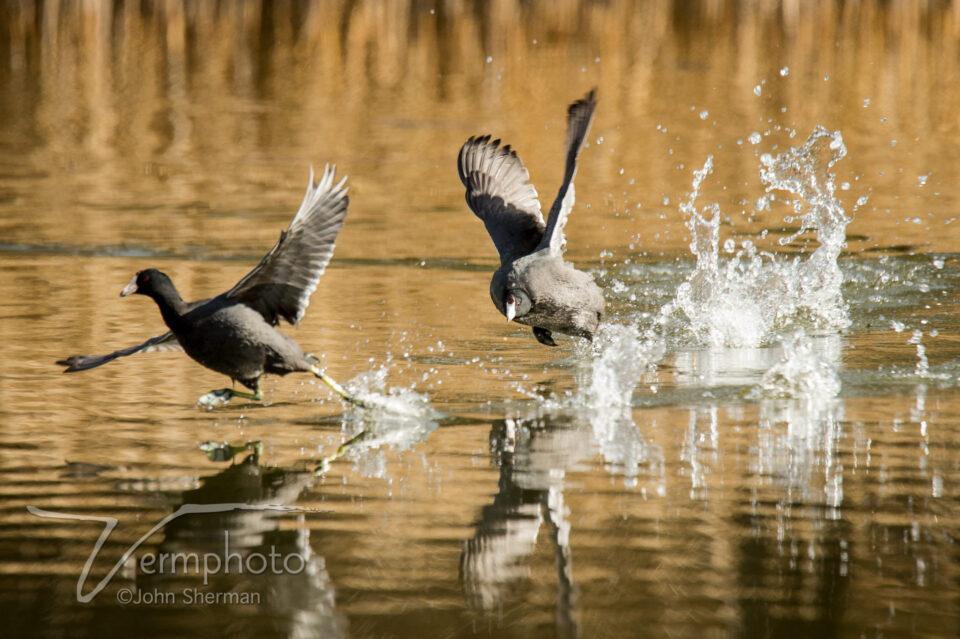 Verm-coot-chase-tami--Duck-Pond-1353
