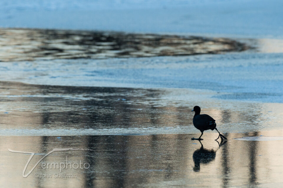 Verm-coot-on-ice-2645