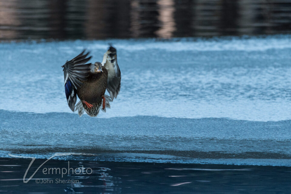 Verm-mallard-hen-in-flight-2682