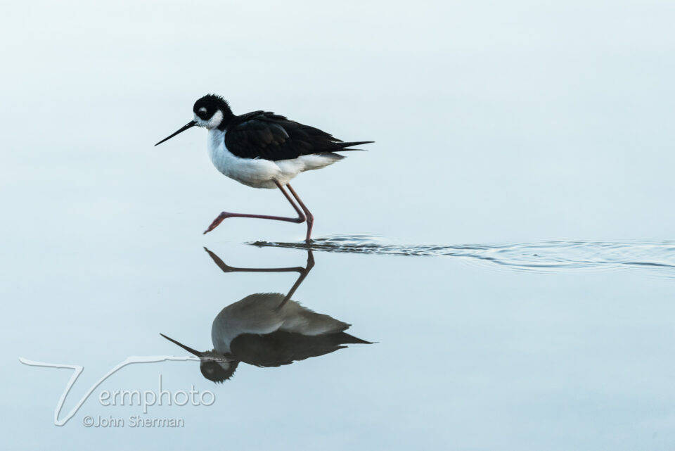 Verm-stilt-reflection-Gilbert-1447