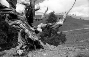 Walking Among the Bristlecone Pines