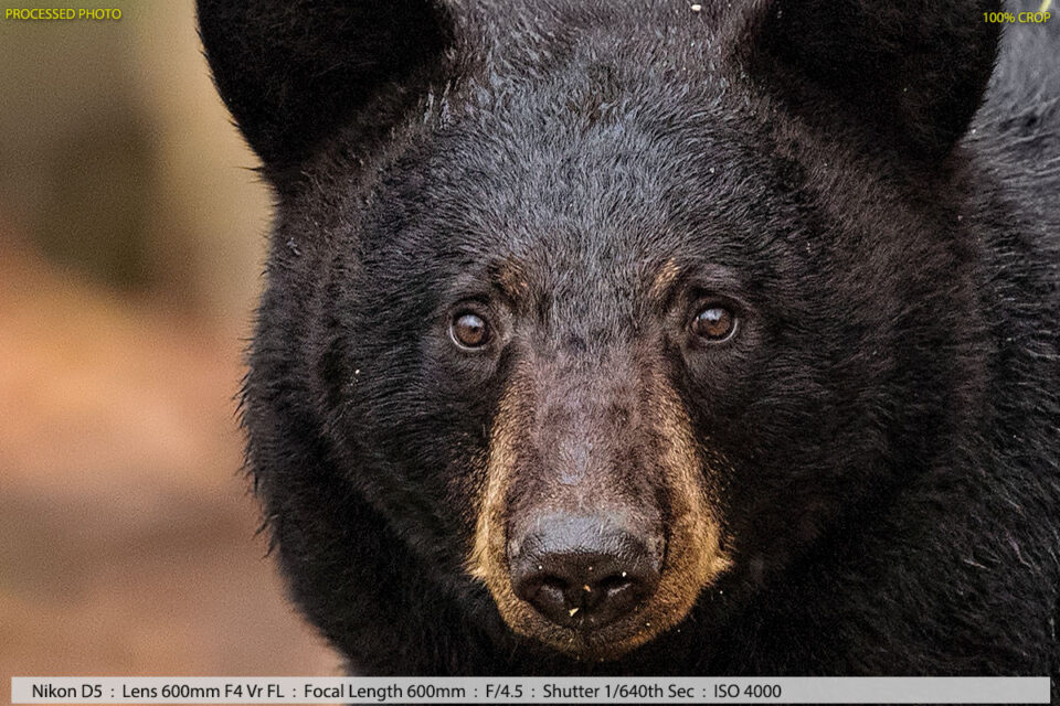 Female Black Bear Near Fallen Tree