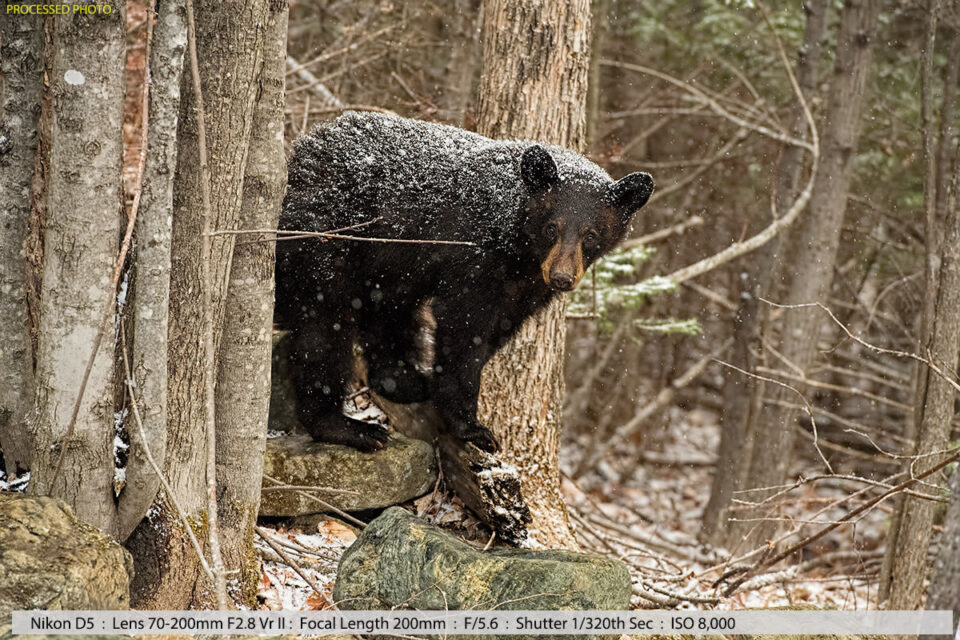 2nd Year Black Bear Cub in a Snowstorm