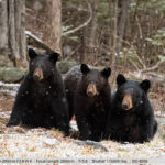 Black Bear with Her Two Cubs in a Snowstorm