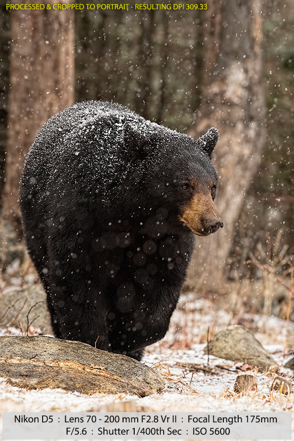 Female Black Bear Walking in a Snowstorm