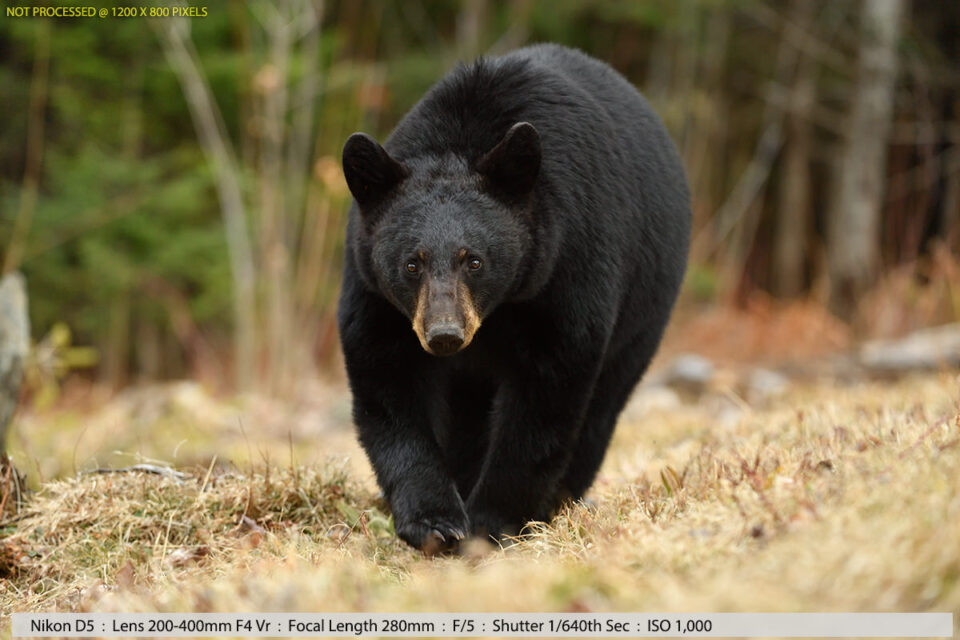 Black Bear in Woods Sample Photo